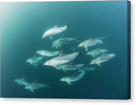 Bottlenose Dolphins Canvas Print - Bottlenose Dolphins by Scubazoo