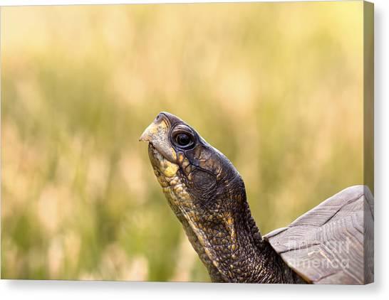 Box Turtles Canvas Print - Box Turtle Closeup Headshot by Brandon Alms