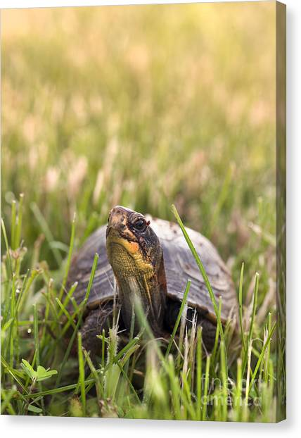 Box Turtles Canvas Print - Box Turtle In The Grass by Brandon Alms