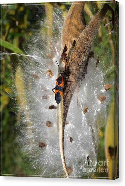 Boxelder On Butterfly Milkweed 2 Canvas Print