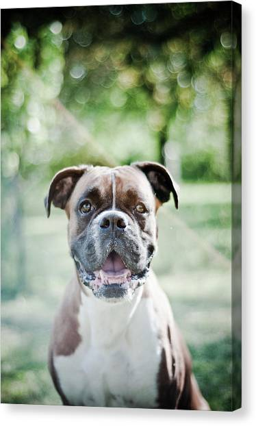 Boxer Dog Breed Canvas Print by Yanis Ourabah