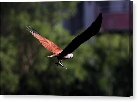Brahminy Kite With Catch  Canvas Print