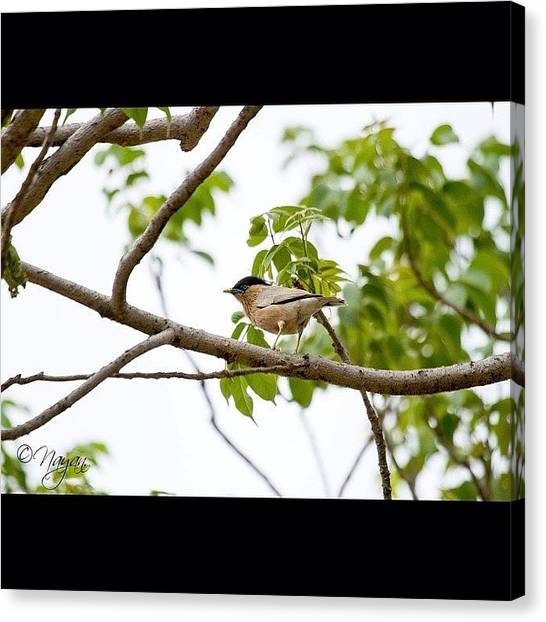 Starlings Canvas Print - Brahminy Myna Or Brahminy Starling by Nayan Hazra