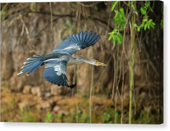 Anhinga Canvas Print - Brazil An Anhinga Flying Along A River by Ralph H. Bendjebar