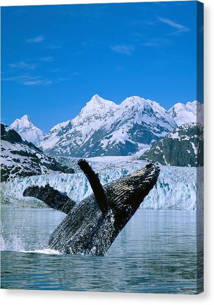 Margerie Glacier Canvas Print - Breaching Humpback And Margerie Glacier by John Hyde