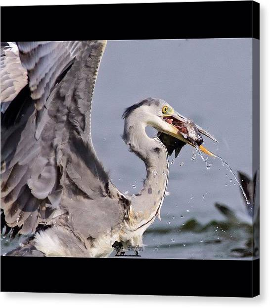 Herons Canvas Print - Break-fish-fast  When You Are A Large by Nayan Hazra