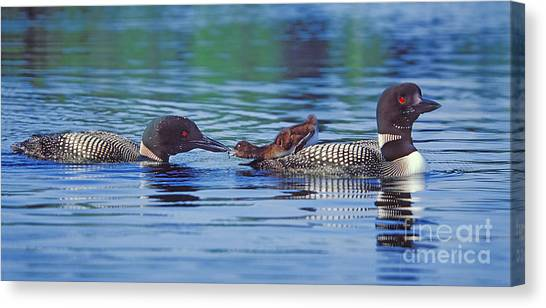 Loons Canvas Print - Breakfast In Bed by Jim Block