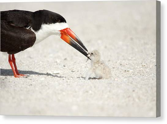 Black Skimmer And Chick. Canvas Print