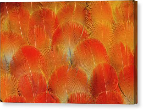 Macaws Canvas Print - Breast Feathers Of The Camelot Macaw by Darrell Gulin