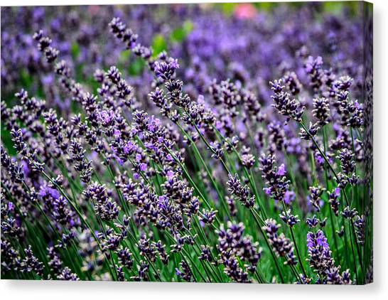 Breath Of Lavender Canvas Print by CarolLMiller Photography