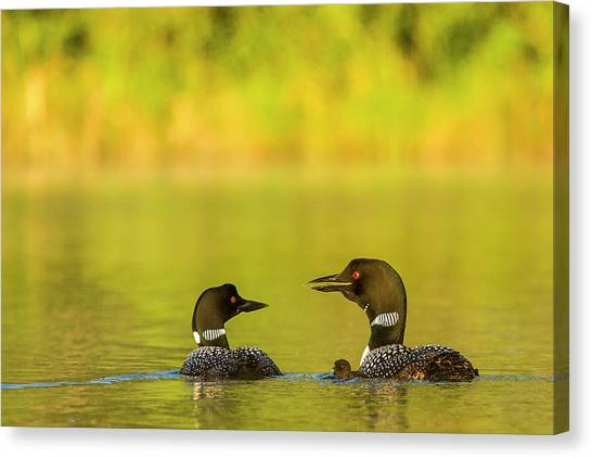 Loon Canvas Print - Breeding Pair Of Common Loons by Chuck Haney
