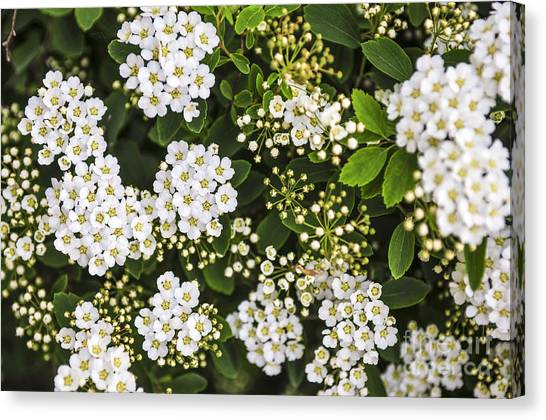 Wreath Canvas Print - Bridal Wreath Flowers by Elena Elisseeva
