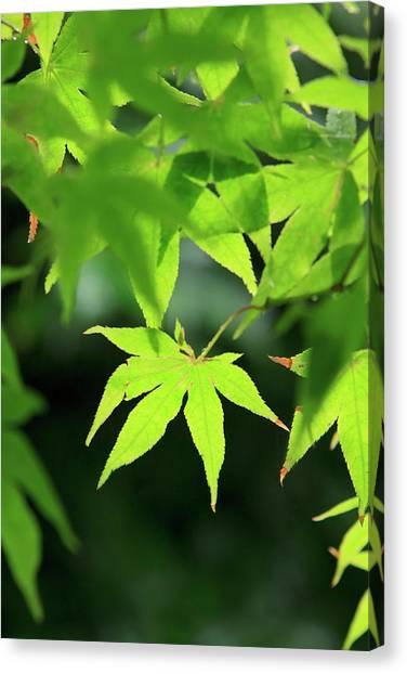Bright Green Japanese Maple Trees Canvas Print by Paul Dymond