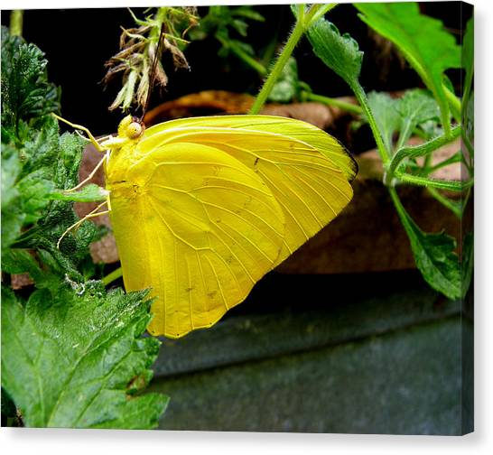 Sulfur Butterfly Canvas Print - Bright Light by Judy Wanamaker