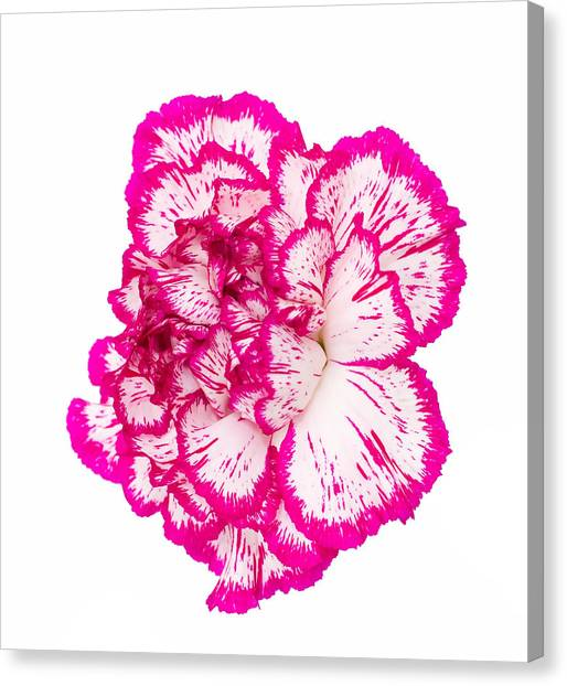 Canvas Print - Bright Pink And White Flower Isolated  by Fizzy Image