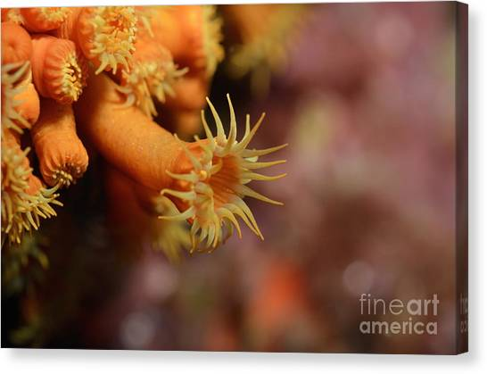 Brightly Colored Yellow Encrusting Anemone Canvas Print by Sami Sarkis