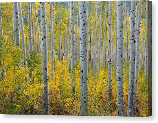 Brilliant Colors Of The Autumn Aspen Forest Canvas Print