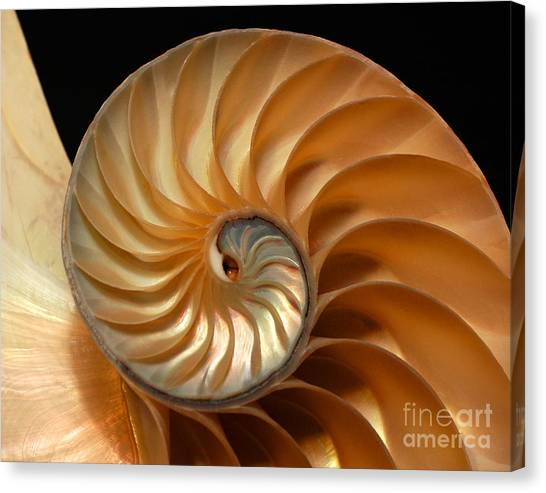 Brilliant Nautilus Canvas Print