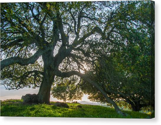 Contra Canvas Print - Briones Oak by Marc Crumpler
