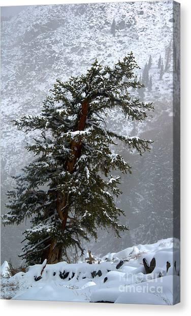 Bristlecone Pine In Snow Canvas Print