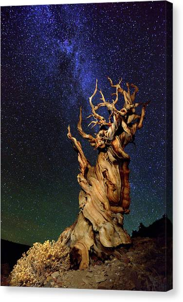 United Way Canvas Print - Bristlecone Pine by Tanja Ghirardini