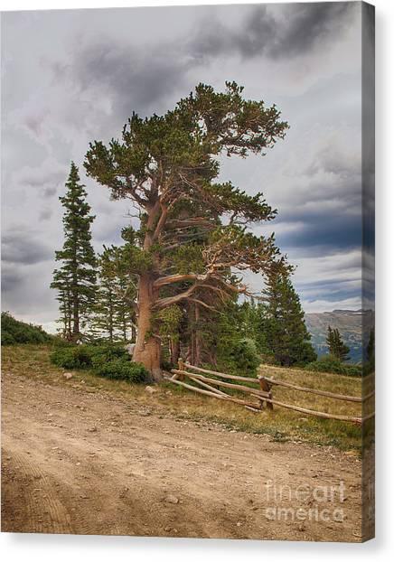 Bristlecone Pines Canvas Print