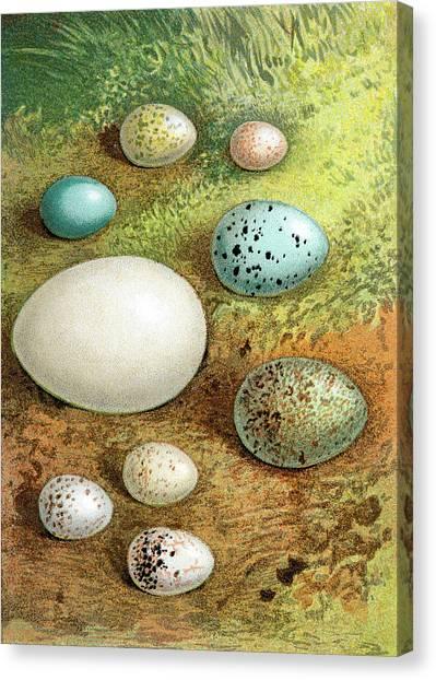 Printmaking Canvas Print - British - European Birds Eggs by Andrew howe