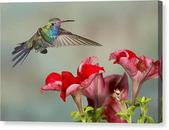 Broad Billed Hummingbird 4 Canvas Print