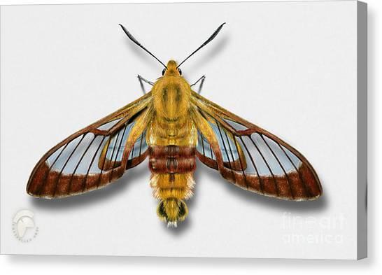 Broad-bordered Bee Hawk Moth Butterfly - Hemaris Fuciformis Naturalistic Painting -nettersheim Eifel Canvas Print