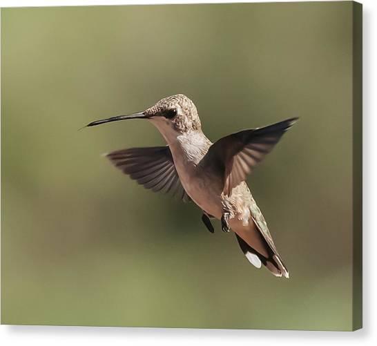 Broad-tailed Hummingbird 1 Canvas Print