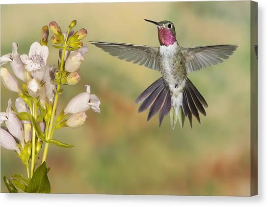 Broad Tailed Hummingbird 2 Canvas Print