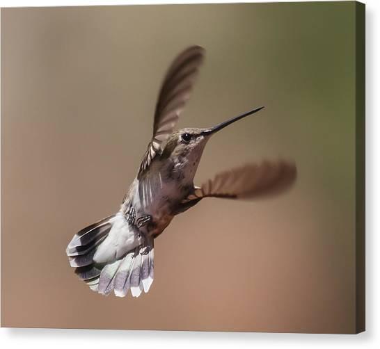 Broad-tailed Hummingbird 2 Canvas Print