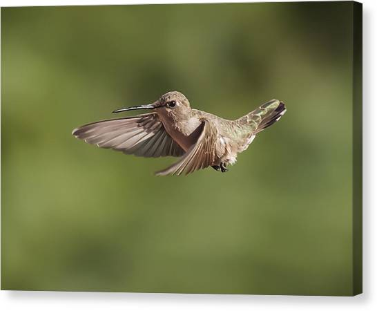 Broad-tailed Hummingbird 3 Canvas Print