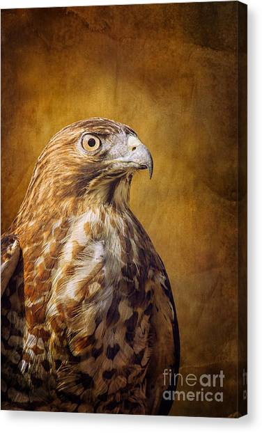 Broad Wing Hawk Canvas Print by Todd Bielby