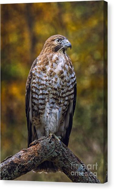 Broad Winged Hawk Canvas Print by Todd Bielby