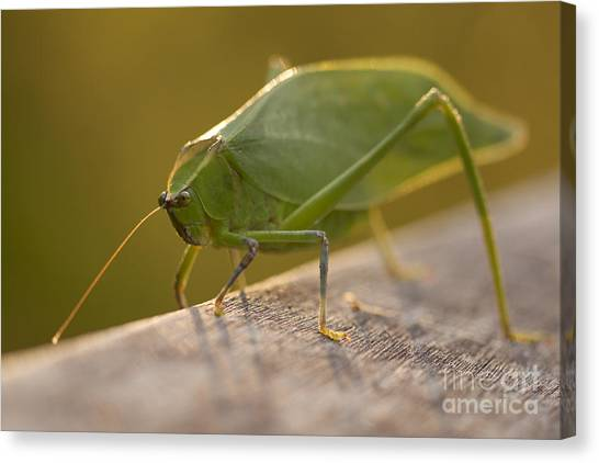 Broad-winged Katydid Canvas Print