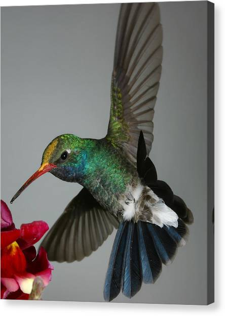 Broadbill Hummingbird With Pollen Cap Canvas Print