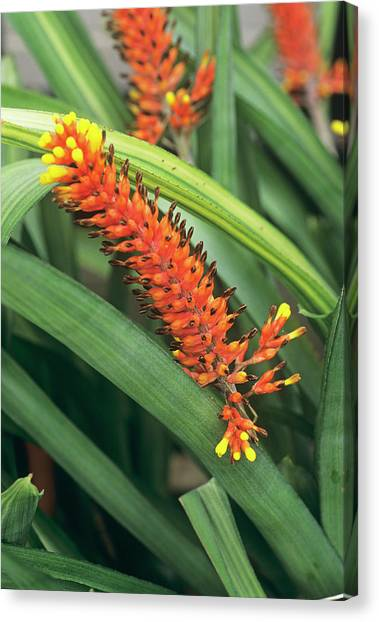 Bromeliad Canvas Print - Bromeliad Flower by Anthony Cooper/science Photo Library