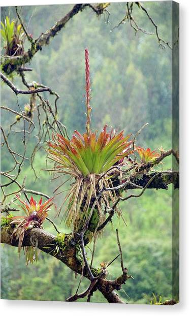Bromeliad Canvas Print - Bromeliad In Flower Growing On A Tree by Sinclair Stammers/science Photo Library