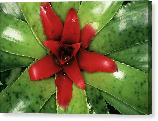 Bromeliad Canvas Print - Bromeliad Plant (neoregelia Sp.) by Steve Taylor/science Photo Library