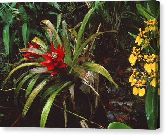 Bromeliad Canvas Print - Bromeliad Plant With Orchid by Sinclair Stammers/science Photo Library