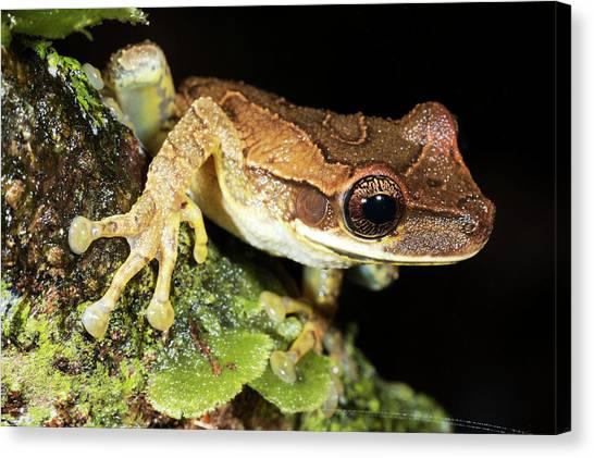 Ecuadorian Canvas Print - Bromeliad Treefrog by Dr Morley Read