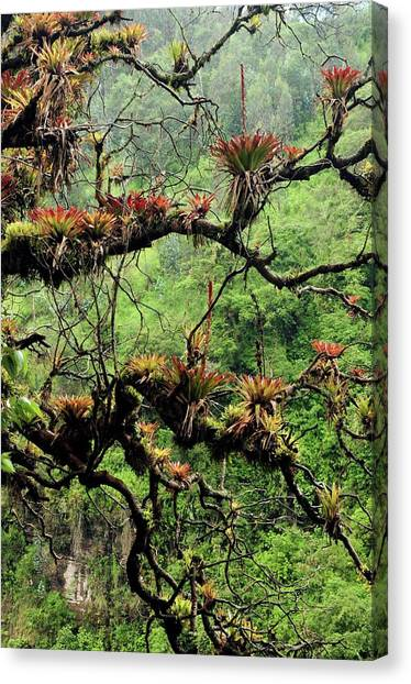Bromeliad Canvas Print - Bromeliads Growing On A Tree by Sinclair Stammers/science Photo Library