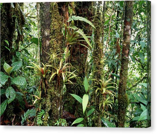 Bromeliad Canvas Print - Bromeliads Growing On Trees In Rainforest by Dr Morley Read/science Photo Library