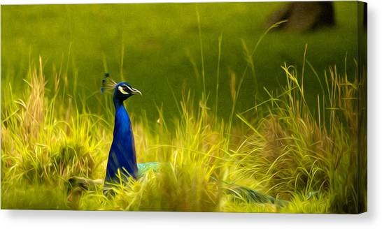 Bronx Zoo Peacock Canvas Print
