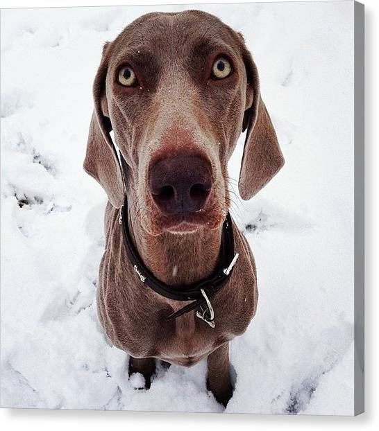 Weimaraners Canvas Print - Brooke Loves The Snow! #weimaraner by Sam Marriott