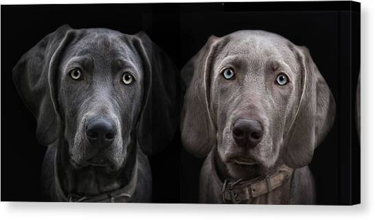Weimaraners Canvas Print - Brother And Sister by Joachim G Pinkawa