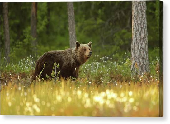 Brown Bears Canvas Print - Brown Bear by Assaf Gavra