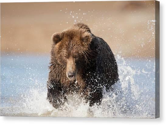 Brown Bears Canvas Print - Brown Bear by Dr P. Marazzi