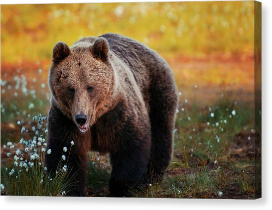 Brown Bear In Forest, Finland Canvas Print by Laurenepbath